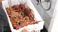 large freshly caught southern rock lobster for export at a wharf in st helens on tasmania's east coast