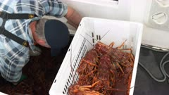 extreme close up of live southern rock lobster in a crate at st helens on tasmania's east coast