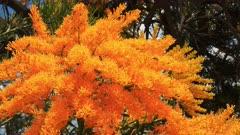 a western australian christmas tree (Nuytsia floribunda) with its bright yellow flowers
