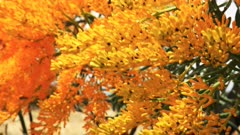 close up of a western australian christmas tree (Nuytsia floribunda) with its bright yellow flowers