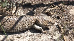 a western australian shingleback lizard walking towards the camera