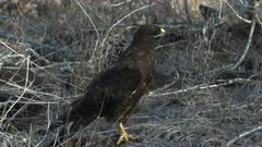 an adult galapagos hawk on the ground at isla santa fe in the galapagos islands, ecuador