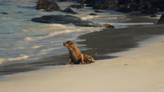 afternoon shot of a baby sea lion on a beach at isla santa fe in the galapagos islands, ecuador