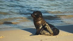 close up of a baby sea lion on a beach at isla santa fe in the galapagos islands, ecuador