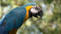 extreme close up of a blue and gold macaw perched on a tree in ecuador