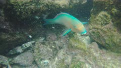 close up of a blue-chin parrotfish at isla bartolome in the galapagos islands, ecuador