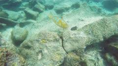 blue-chin parrotfish feeding at isla bartolome in the galapagos islands, ecuador