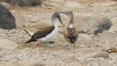 a pair of blue-footed boobies perform their peculiar dance on isla espanola in the galapagos islands in ecuador