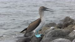 a blue-footed booby scratches its head on isla lobos in the galalagos islands