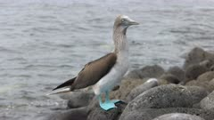 a blue-footed booby on the rocky shore of isla lobos in the galapagos islands, ecuador