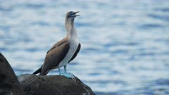 close up of a blue-footed booby standing on the shore of isla lobos in the galalagos islands, ecuador