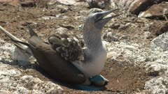 a blue-footed booby lifts its feet while dancing on isla nth seymour in the galalagos islands, ecuador