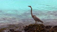 great blue heron hunting at isla san cristobal in the galalagos islands, ecuador