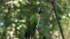 a chestnut fronted macaw perched on a tree branch in a park in ecuador