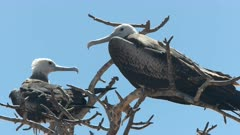 close up of female frigatebirds in a tree on isla nth seymour in the galalagos islands, ecuador