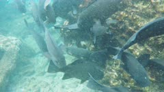 close up of a school of porgy at isla bartolome in the galapagos islands, ecuador