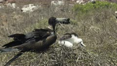 a female frigatebird and chick on a nest at isla nth seymour in the galapagos islands, ecuador