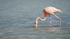 feeding flamingo on isla santa cruz in the galapagos islands, ecuador