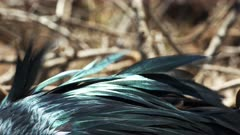 extreme close up of the iridescent feathers of a frigatebird in the galalagos islands, ecuador