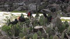 several nesting male frigatebirds on cactus plants on isla genovesa in the galalagos islands, ecuador