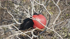 a male magnificent frigatebird with an inflated throat sac on isla genovesa in the galalagos islands, ecuador