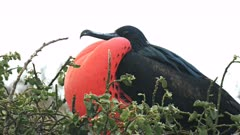 male frigatebird with inflated throat sac against a white background in the galalagos islands