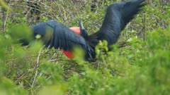 a male frigatebird flaps its wings and displays its red throat sac in the galalagos islands, ecuador