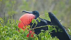 close up of a mating male magnificent frigatebird on isla lobos in the galalagos islands, ecuador