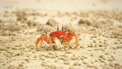 ghost crab on on cerro brujo beach on isla san cristobal in the galapagos islands, ecuador