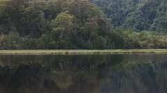 tracking shot of a rain forest tree on the banks of the gordon river on the west coast of tasmania, australia