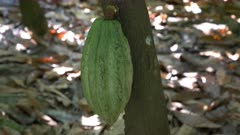 close up of a green cacao pod growing on a tree in ecuador