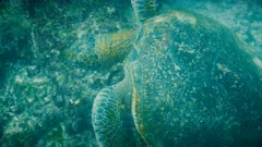 overhead underwater shot of a feeding green sea turtle at isla santiago in the galapagos  islands, ecuador