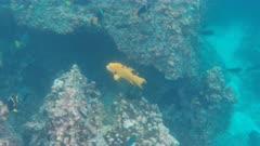 underwater tracking shot of a harlequin wrasse at devil's crown near isla floreana islands, ecuador