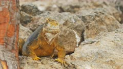 close up of a yellow colored iguana looking around on south plazas in the galapagos