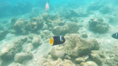 underwater tracking shot of a king angelfish at isla bartolome in the galapagos islands, ecuador