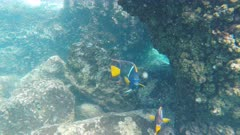 close up of two king angelfish at isla espanola in the galapagos islands, ecuador