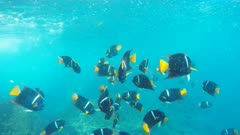 school of king angelfish at the devil's crown near isla floreana in the galapagos islands