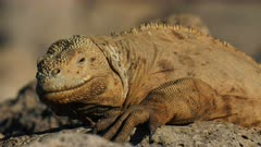 close up of a brown colored land iguana on isla santa fe in the galapagos islands