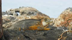 close up of a large land iguana on isla santa fe in the galapagos islands