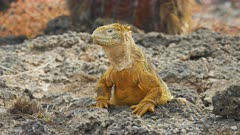 close up of a land iguana turning its head on south plazas in the galapagos islands, ecuador