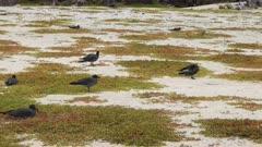 lava gulls nesting on a beach on isla genovesa in the galapagos islands, ecuador