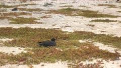 a lava gull nests on a beach at isla genovesa in the galapagos islands, ecuador