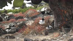 a pair of lava gulls nest under a large opuntia cactus on isla south plazas in the galapagos islands