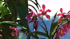 close up of pink orchids growing at the famous lost incan city of machu picchu in peru