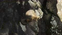 high angle shot of a  rabbit like viscacha at machu picchu on a sunny afternoon