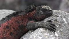 close up of a red colored marine iguana at isla espanola in the galapagos islands, ecuador