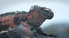 extreme close up of a marine iguana on isla espanola in the galapagos islands