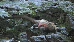 a marine iguana feeds on green seaweed at isla espanola in the galapagos islands, ecuador