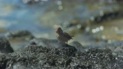 a female  medium ground finch forages for food on isla santa cruz the galalagos islands, ecuador
