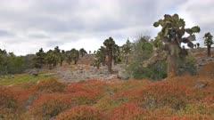 zoom in shot of opuntia cactus at south plazas in the galapagos islands, ecuador